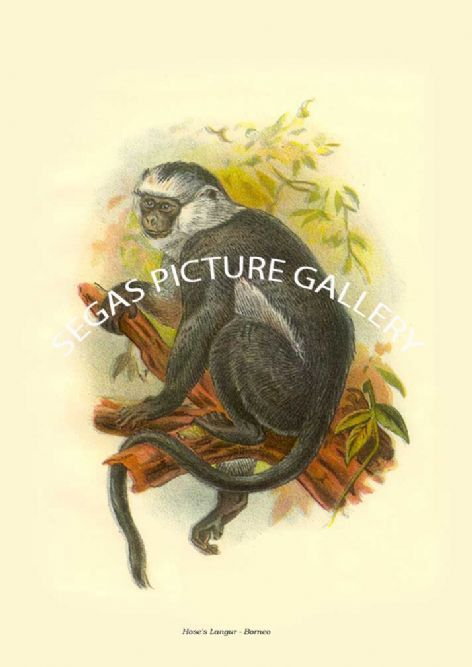 Fine art print of the Hose's Langur - Borneo by Johannes Gerardus Keulemans (1896)